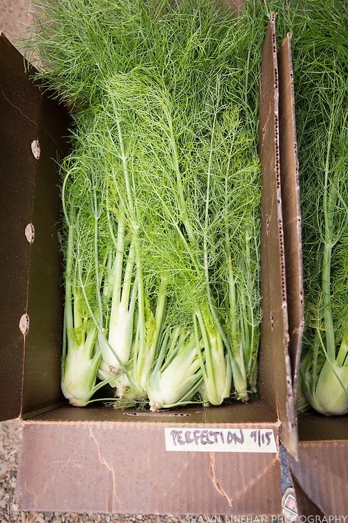 Perfection fennel grown at OSU from seed bred by Frank Morton of Wild Garden Seed.