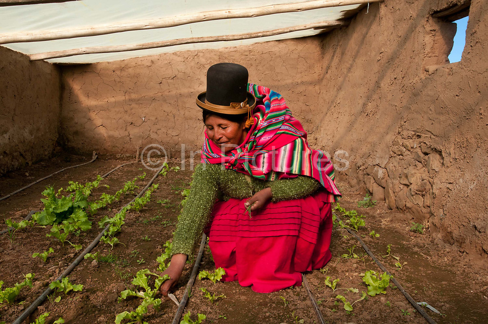 Bolivia June 2013. Altiplano. Huasahuasi, near Cajamarca, village of  Rotilda, here in her greenhouse weeding lettuces.