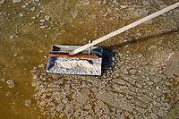 France, Loire-Atlantique (44), Guérande, les marais salants de Guérande, recolte de la fleur de sel // France, Loire-Atlantique, Guérande, Salt marshes of Guerande