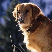 Portrait of golden retriever. (PR)
