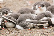 Gentoo penguin chicks cuddle together for protection and warmth.
