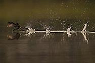 Little grebe (Podiceps/Tachybaptes ruficollis), wintering at the Poyang Ho Lake, Jiangxi province, China