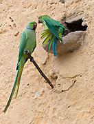 Pair of rose-ringed parakeet (Psittacula krameri borealis) from Chanoud Garh, Rajasthan, India.