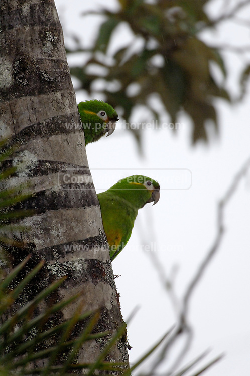 Cerro Tapichalaca Reserve - Monday, Jan 07 2008: Two Golden-plumed Parakeets (Leptosittaca branickii) perch on a tree in the Cerro Tapichalaca Reserve near Podocarpus National Park. (Photo by Peter Horrell / http://www.peterhorrell.com)