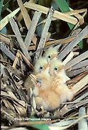 00699-00220 (TF) Least Bittern (Ixobrychus exilis) nest with nestlings Mermet Lake State Fish & Wildlife Area   IL