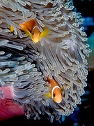 A pair of Maldive anemonefish (Amphiprion nigripes) in the Magnificent host-sea Anemone (Heteractis magnifica)