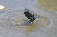 Common Grackle takes off after plunging into the water. You can see the ripples in the water and the spray of water flying off.