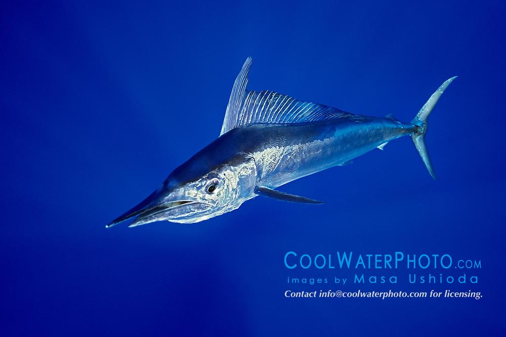 shortbill spearfish, Tetrapturus angustirostris, Kona Coast, Big Island, Hawaii, USA, Pacific Ocean