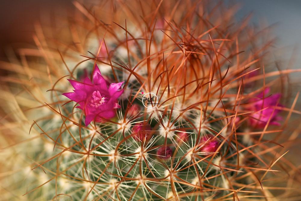 Cactus Flower Thorns
