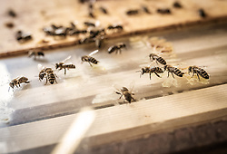 THEMENBILD - Bienen krabbeln auf einem Glasboden, aufgenommen am 12. Juni 2019, Piesendorf, Österreich // Bees crawling on a glass floor on 2019/06/12, Piesendorf, Austria. EXPA Pictures © 2019, PhotoCredit: EXPA/ Stefanie Oberhauser