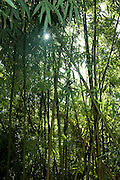 Sunburst in Bamboo forest, Hawaii