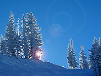 Snow covered pine trees at Alta, Utah