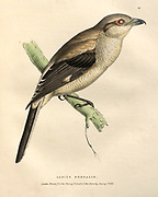 Northern shrike (Lanius borealis) songbird color plate of North American birds from Fauna boreali-americana; or, The zoology of the northern parts of British America, containing descriptions of the objects of natural history collected on the late northern land expeditions under command of Capt. Sir John Franklin by Richardson, John, Sir, 1787-1865 Published 1829