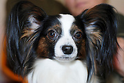"Pedigree Dog - The Papillon (French for ""butterfly"") is a small, friendly, elegant breed of dog of the Spaniel type, distinguished from other breeds by its large butterfly-like ears. The Papillon is one of the oldest of the toy Spaniels. Portrait with distinct large ears and wide open eyes"