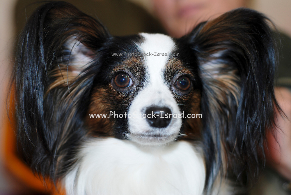 """Pedigree Dog - The Papillon (French for """"butterfly"""") is a small, friendly, elegant breed of dog of the Spaniel type, distinguished from other breeds by its large butterfly-like ears. The Papillon is one of the oldest of the toy Spaniels. Portrait with distinct large ears and wide open eyes"""