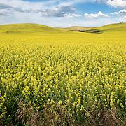Fertile canola fields in the Palouse area of Washington.