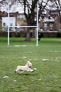 This is Abby, a cavapoo puppy, running in the park
