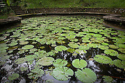Lotus plants provide shelter for small fish living in this small pond. Tucked away in a quiet corner of the beautiful Goa Gajah temple garden and surrounded by lush tropical vegetation, it is a great place to relax and enjoy its serenity.