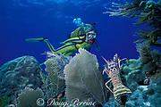 diver and spiny lobster, Panulirus argus, Molasses Reef, Key Largo, Florida Keys National Marine Sanctuary,<br /> Florida ( Western Atlantic Ocean )