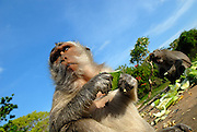 Long-tailed macaque (Macaca fascicularis), also known as the crab-eating macaque, feeding on cucumber provided by temple attendants. Uluwatu temple, Bali, Indonesia.