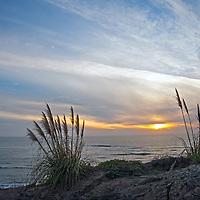 Pampas grass grows beside the Pacific Ocean near Half Moon Bay, California.