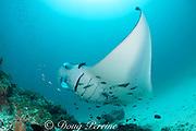 reef manta ray, Manta alfredi (formerly Manta birostris ), being cleaned by moon wrasses, Thalassoma lunare, and blue-streak cleaner wrasses, Labroides dimidiatus, Hanifaru Bay entrance, Hanifaru Lagoon, Baa Atoll, Maldives ( Indian Ocean )
