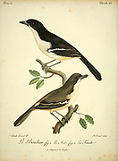 Male and female tropical boubou or bell shrike (Laniarius major) is a medium-sized passerine bird of sub-Saharan Africa. from the Book Histoire naturelle des oiseaux d'Afrique [Natural History of birds of Africa] Volume 2, by Le Vaillant, François, 1753-1824; Publish in Paris by Chez J.J. Fuchs, libraire 1799