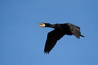 Great cormorant, Phalacrocorax carbo, Danube delta rewilding area, Romania