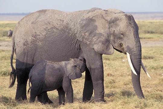 African Elephant, (Loxodonta africana)  Mother and baby nursing. Kenya. Africa.