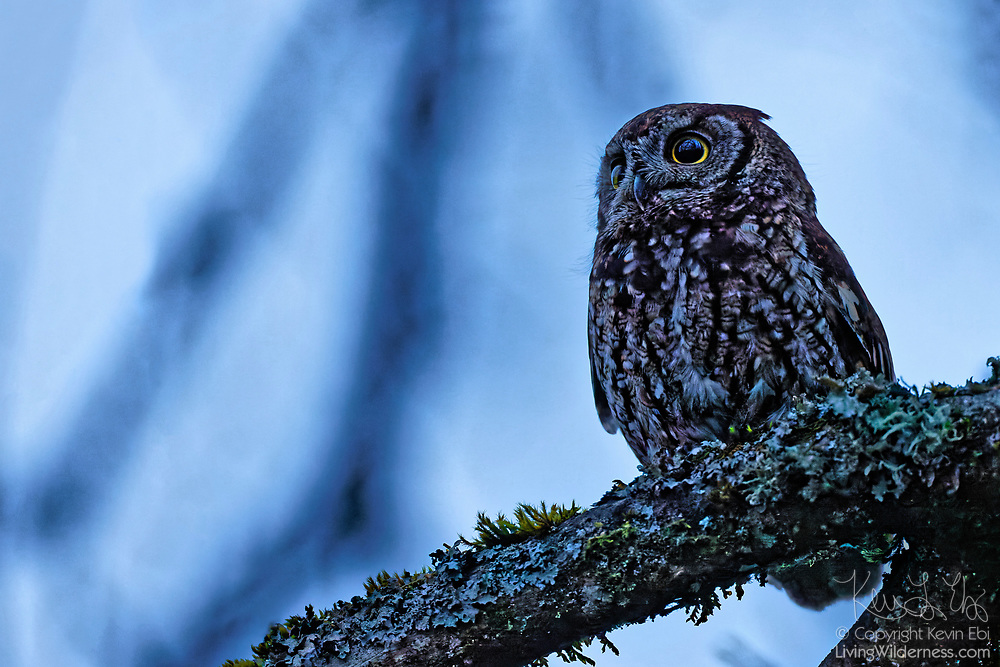 A western screech owl (Megascops kennicottii) looks for food from its perch on a branch of an old ash tree in wetlands in King County, Washington. The western screech owl is found throughout western North America in open woods and forest edges. The small owl primarily feeds on small mammals and hunts at night, dawn and dusk.