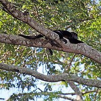 South America, Brazil, Pantanal.  A Black Howler Monkey seen resting on a branch over the Aquidauana River in the Pantanal. This one appears to be wounded on it's face and head.