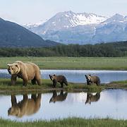 Alaskan Brown Bear (Ursus middendorffi) mother with her cubs crossing a river during spring. Katmai National Park, Alaska