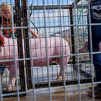 Dakota Woodbury washes a pig for her friend Kristina Simpson during the Bi-County Fair Saturday in Prewitt.