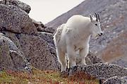 Mountain goat (Oreamnos americanus)  on rocky slopes near the summit of Mt. Evans, Colorado