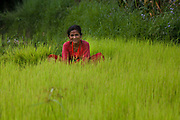 A woman is collection rice seedlings from a nursery to bring them into the rice paddy to plant them. Rice, like millet, is part of Nepalese stable foods.