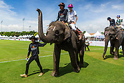 "28 AUGUST 2014 - BANGKOK, THAILAND:  Players, mahouts and elephants take the pitch (field) at the King's Cup Elephant Polo Tournament at VR Sports Club in Samut Prakan on the outskirts of Bangkok, Thailand. Each elephant carries two people, the polo player and mahout, who actually controls the elephant. The tournament's primary sponsor in Anantara Resorts. This is the 13th year for the King's Cup Elephant Polo Tournament. The sport of elephant polo started in Nepal in 1982. Proceeds from the King's Cup tournament goes to help rehabilitate elephants rescued from abuse. Each team has three players and three elephants. Matches take place on a pitch (field) 80 meters by 48 meters using standard polo balls. The game is divided into two 7 minute ""chukkas"" or halves.     PHOTO BY JACK KURTZ"