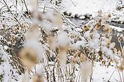 Snowy river banks over grown with perennial honesty (Lunaria rediviva) with fruit bodies partly covered in snow, Līgatne river, near Nītaure, Vidzeme, Latvia Ⓒ Davis Ulands   davisulands.com