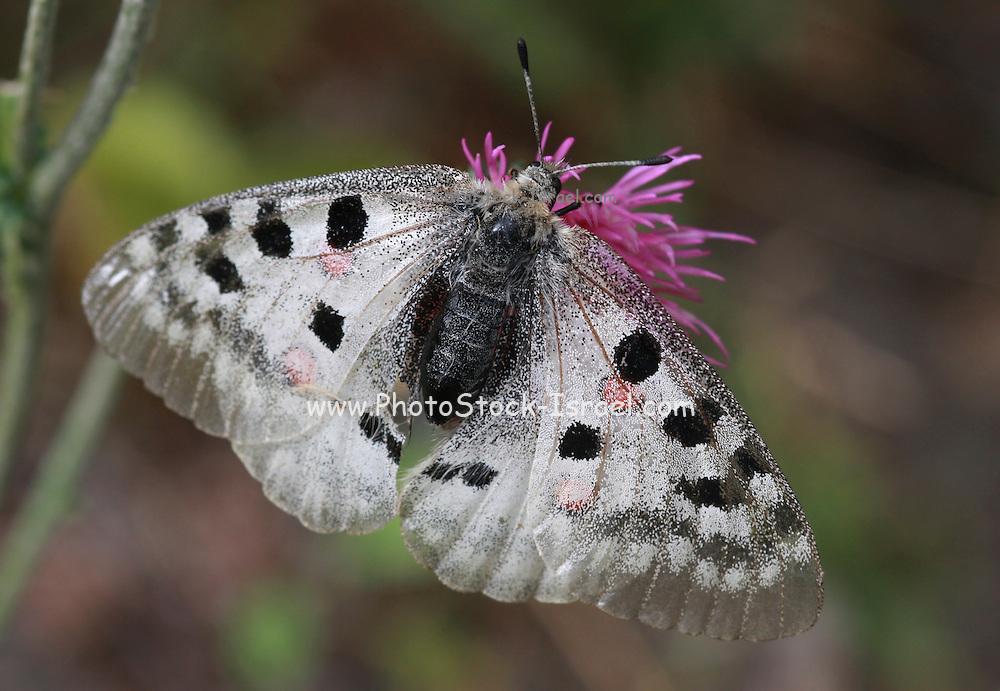 Apollo or Mountain Apollo (Parnassius apollo), is a butterfly of the Papilionidae family.