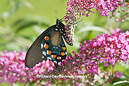 03004-01316 Pipevine Swallowtail butterfly (Battus philenor) male on Butterfly Bush (Buddleia davidii) Marion Co., IL