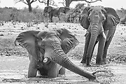 Thirsty elephants (Loxodonta africana)  during a drought at water hole to drink, black and white,Savuti, Botswana