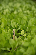 Milano lettuce starts at Gathering Together Farm