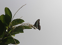 August 26, 2017 - Bhubaneswar, India - A wild butterfly sits on the nectar of a flower and sucks honey from it on a road side tree in the eastern Indian state Odisha's cpaital city Bhubaneswar, on August 26, 2017. (Credit Image: © Str/NurPhoto via ZUMA Press)