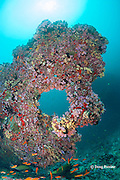 coral keyhole, Rainbow Reef, North Male Atoll, Maldives ( Indian Ocean )