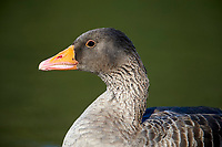 Greylag Goose (Anser anser) swimming, Hollow Ponds, Leytonstone, London , Essex, England