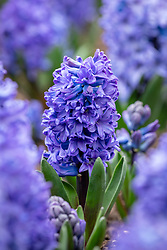 Hyacinthus orientalis 'Blue Star'