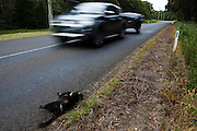 Dead tasmanian devil on the road to Marrawah, north west Tasmania. Tasmanian devils, as scavengers, often venture onto roads to feed on other marsupial roadkill - and end up becoming victims themselves. ..Tasmania's northwest is the only area not yet affected by Devil Facial Tumour Disease, which has caused a population crash elsewhere on the island.  ..The disease is a contagious cancer that scientists are only beginning to understand, but has spread rapidly through the population, leaving the devil listed as endangered. In December 2009, it was announced that the disease may be related a peripheral nerve cell, called the Schwann cell, which has led some hopes for preserving the devil, at least in terms of quarantine insurance populations.