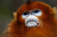 Portrait of a Sichuan Golden Snub-nosed Monkey, Rhinopithecus roxellana, at the Yangxian Nature Reserve, Shaanxi, China