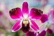 Traditional orchid, Bangkok, Thailand
