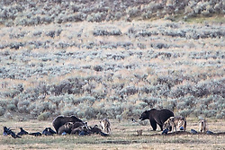 Grizzly bear and wolves dine together in Yellowstone's Lamar Valley. A grizzly boar, a sow, her three cubs and a pack of wolves share a bison diner. This doesn't happen, but here it is.  Grizzly bear males kill cubs, wolves kill cubs but here they all are like an awkward thanksgiving dinner.<br /> <br /> Long shot so it is a bit soft, considering the rarity of the behavior the photo still has merit.