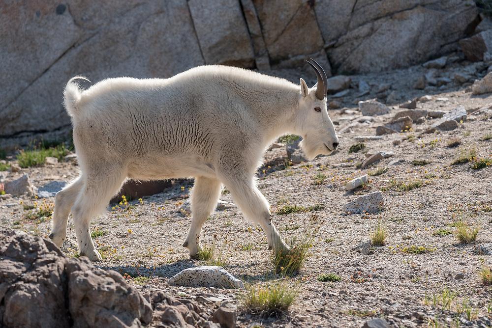 Mountain goat, Wallowa Mountains, Oregon.